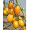 Pomidor tunelowy ORAMA F1 500 nas